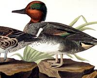 American Green Winged Teal. From The Birds of America (Amsterdam Edition)