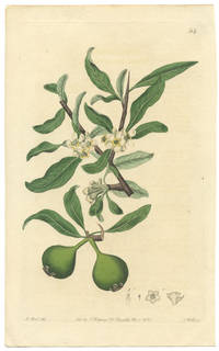 Pyrus salicifolia.  Willow-leaved Pear-tree.