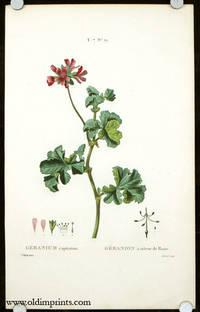 Geranium capitatum. Geranion a odeur de Rose