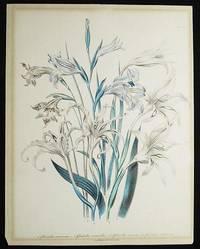 image of 1. Gladiolus Recurvus. -- 2. Gladiolus Versicolor. -- 3. Gladiolus Carneus. -- 4. Gladiolus Cuspidatus