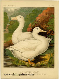 Mrs. Mary Seamons' Pair of Aylesbury Ducks, Cup at Aylesbury, 1870, & Many Other Cups & Prizes