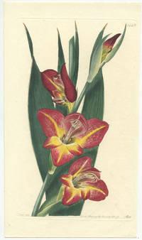 Gladiolus psittacinus.  The Parrot Gladiole.