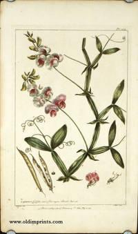Lathyrus, Latifolius minor, flore majore Boerh. Ind. 158.