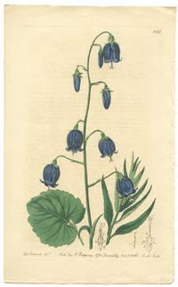 Campanula coronata.  Crowned siberian Bell-flower.