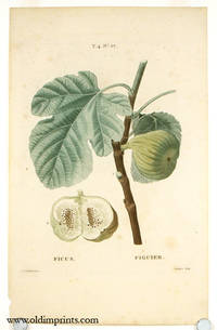 Ficus.  Figuier by  P.J.  (illus).  Lemaire (engraved by) FIG) Redoute - Ca. 1801- 1819. - from oldimprints.com and Biblio.com