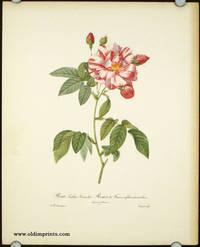 Pierre-Joseph Redoute. Les Roses