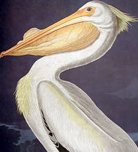 American White Pelican. From The Birds of America (Amsterdam Edition)