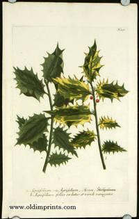 Aquifolium seu Agrifolium, Houx