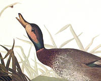 Bemaculated Duck. From The Birds of America (Amsterdam Edition)
