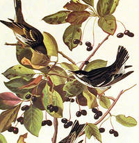 Black-poll Warbler. From The Birds of America (Amsterdam Edition)