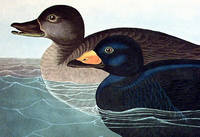 American Scoter Duck. From