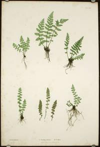 A. Woodsia ilvensis. B. W. alpina