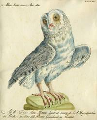 """Allocco bianco,  Plate LXXXXII, engraving from """"Storia naturale degli uccelli trattata con metodo e adornata di figure intagliate in rame e miniate al naturale"""""""