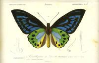 Papillonides I.  Ornithoptere de Durville from the Dictionaire Universelle d'Histoire Naturel