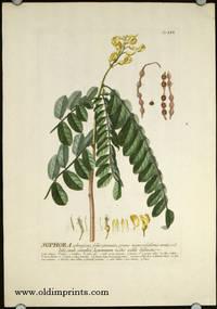 Sophora arborescens, foliis pinnatis, pinnis numerosissimis ovatis villofis, caule simplici, leguminum nodis valde distinctis