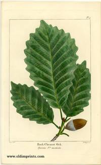 Rock Chesnut Oak. Quercus Pus. monticola