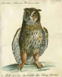 """Gufo minore o comune,  Plate LXXXII, engraving from """"Storia naturale degli uccelli trattata con metodo e adornata di figure intagliate in rame e miniate al naturale"""""""