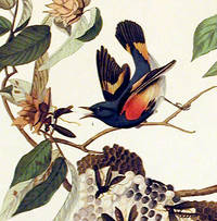 American Redstart. From The Birds of America (Amsterdam Edition)