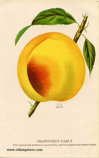Crawford's Early  (PEACH)