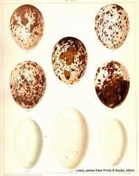 British Bird's Eggs: Osprey, Cormorant, Shag, Gannet.