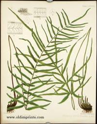 Pteris Longifolia, L. Pteris Serrulata, L. fil