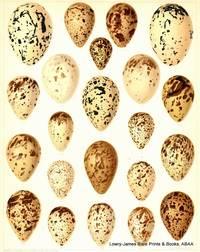 British Bird Eggs: Oyster-catcher, Avocet, Red-necked Phalarope, Woodcock, Common Snipe, Dunlin, Ruff, Common Sandpiper, Wood Sandpiper, Redshank.