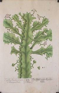 Euphorbium verum Antiquorum (from A Curious Herbal).
