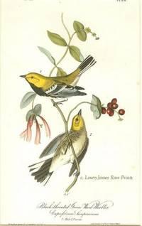 Pl. 84 Black-throated Green Wood Warbler