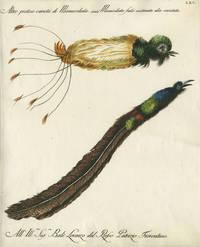 """Altre pretesa varieta di Manucodiala,  Plate LXV, engraving from """"Storia naturale degli uccelli trattata con metodo e adornata di figure intagliate in rame e miniate al naturale"""""""