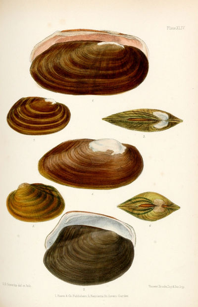 Conchologia Indica: Illustrations of...