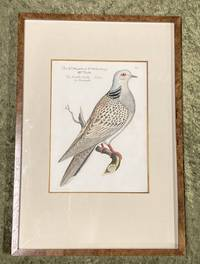 Bird Engraving. Hand-colored Turtle Dove. Turtur. Streptopelia turtur