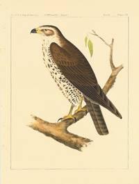 Buteo Oxypterus, Cassin.