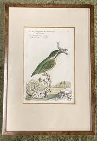 Bird Engraving. Hand-colored Kingfisher. Halcion Ispida