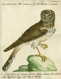 """Strige, detta da alaini Falco Civettino,  Plate LXXXXVII, engraving from """"Storia naturale degli uccelli trattata con metodo e adornata di figure intagliate in rame e miniate al naturale"""""""