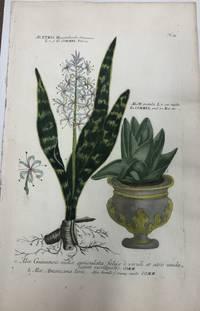 Aletris Hyaccinthoides with Aloe pumila; N. 75