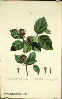 Calycanthus floridus. Calycant de la caroline