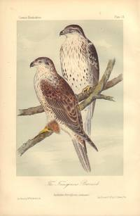 image of The Ferruginous Buzzard: Archibuteo ferrugineus
