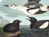 Black Guillemot. From The Birds of America (Amsterdam Edition)