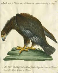 """Aquila nera, o Valeria,  Plate III, engraving from """"Storia naturale degli uccelli trattata con metodo e adornata di figure intagliate in rame e miniate al naturale"""""""