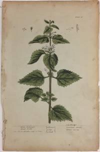 White Archangel Dead Nettle; Eliz. Blackwell delin. sculp. et. Pinx
