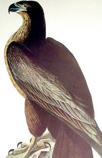 Bird of Washington. From The Birds of America (Amsterdam Edition)