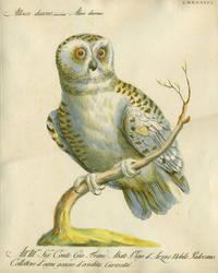 """Allocco diurno,  Plate LXXXXIII, engraving from """"Storia naturale degli uccelli trattata con metodo e adornata di figure intagliate in rame e miniate al naturale"""""""