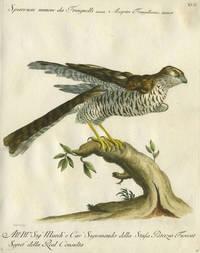 """Sparviere Minore da Fringuelli  Plate XVII, engraving from """"Storia naturale degli uccelli trattata con metodo e adornata di figure intagliate in rame e miniate al naturale"""""""