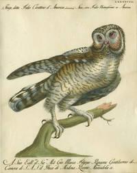 """Strige detta Falco Civettino d'America,  Plate LXXXXVIII, engraving from """"Storia naturale degli uccelli trattata con metodo e adornata di figure intagliate in rame e miniate al naturale"""""""