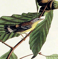 Black and Yellow Warbler. From The Birds of America (Amsterdam Edition)