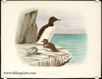 Common Guillemot. Female with Young
