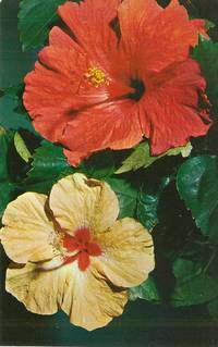 Florida Hibiscus unused Postcard