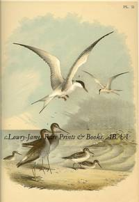 Plate XI  The Yellow-shanked Snipe, The Semi-palmated Sandpipers, The Great Tern, or Sea Swallow