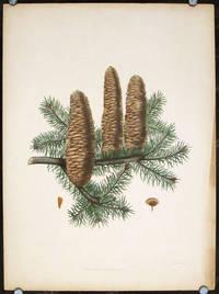 Picea Cephalonica, Loudon