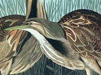American Bittern. From The Birds of America (Amsterdam Edition)